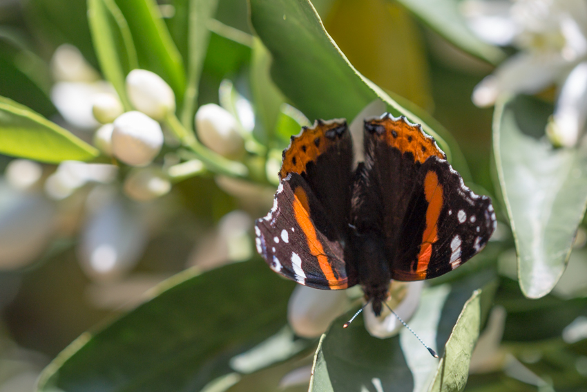 Monarch butterflies and bees are busy among the orange trees.