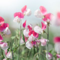 sun-kissed sweet pea flowers pink and white