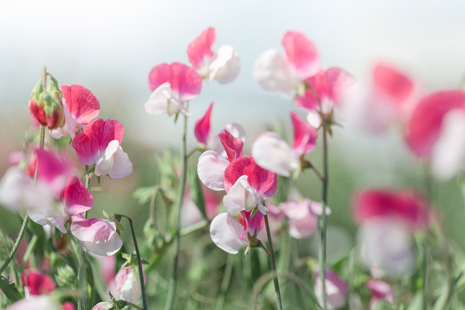 Sweet Pea Gardens Will Brighten Your Day Try Something Fun