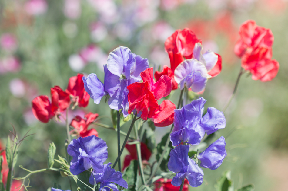 sweet_pea_flowers-377