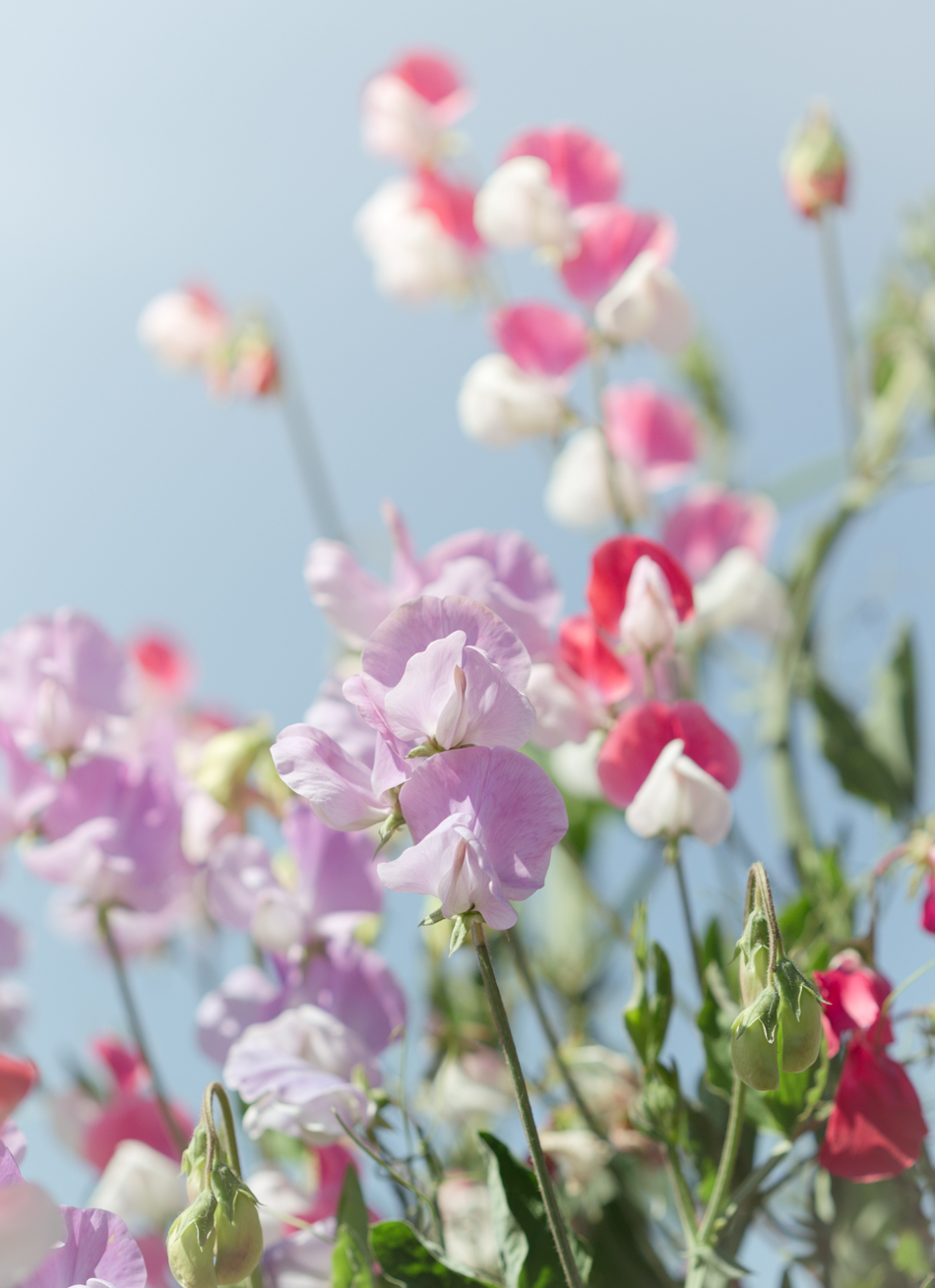 sweet_pea_flowers-384
