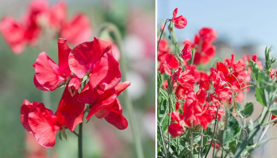 sweet_pea_flowers-red