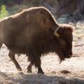 bison at morning light Hart Ranch