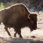 bison at morning light Hart Ranch