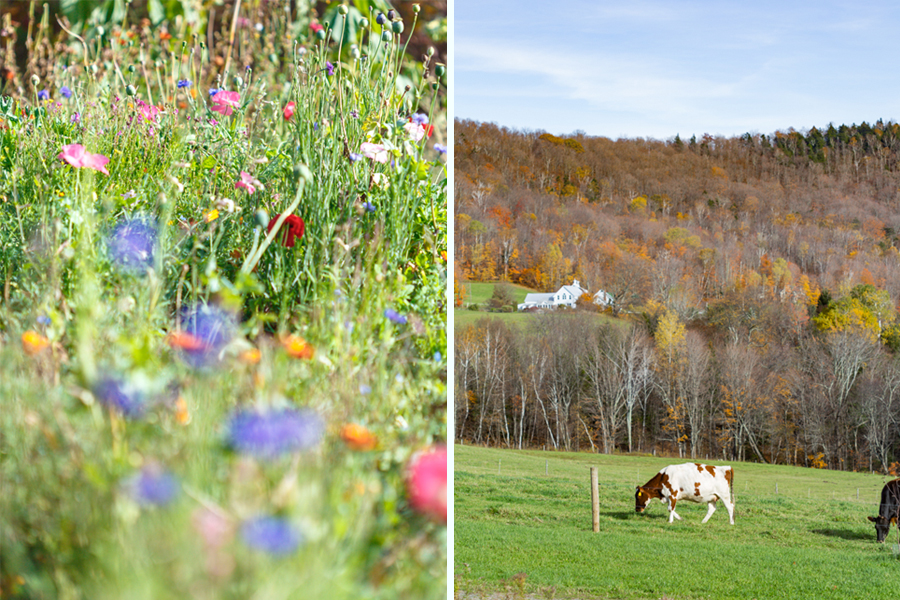 Vermont_farm cattle and garden