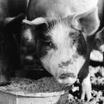 Vermont_pig farm