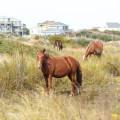 wild horses eating grass