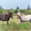Majestic wild ponies photographed one morning at Grayson Highlands State Park in Virginia.