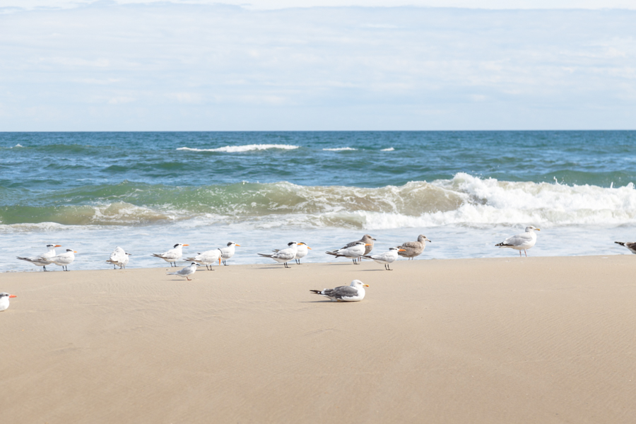 Seagulls, Royal Tern and Sandwich Tern birds share the coastal habitat on Corolla Beach.