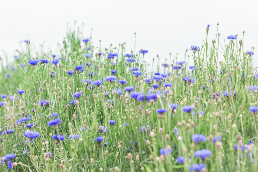 Field of blue flowers