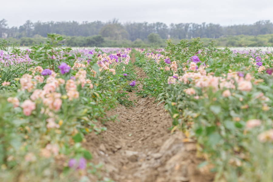 flower farm in lompoc