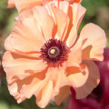 peach ranunculus_flower full bloom