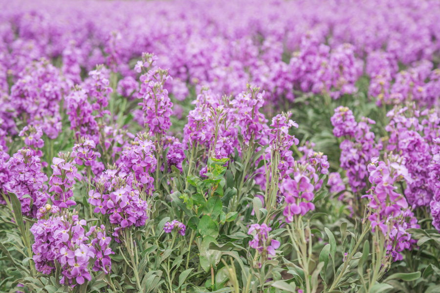 purple stock flower field