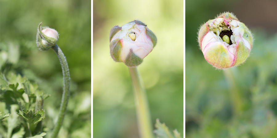 ranunculus bud evolution