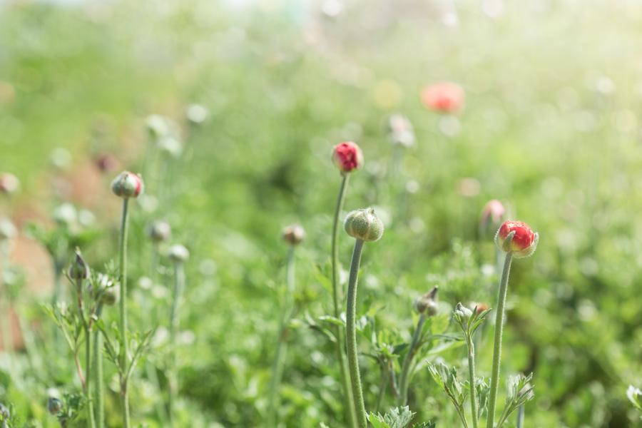 Budding Tecolote Ranunculus Flowers