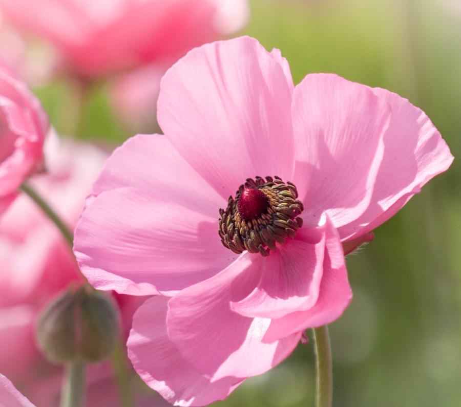 Budding Tecolote Ranunculus Flower