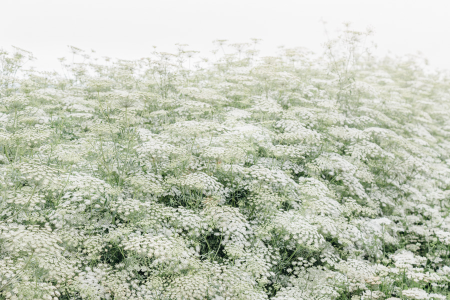 wall of queen_annes_lace flowers