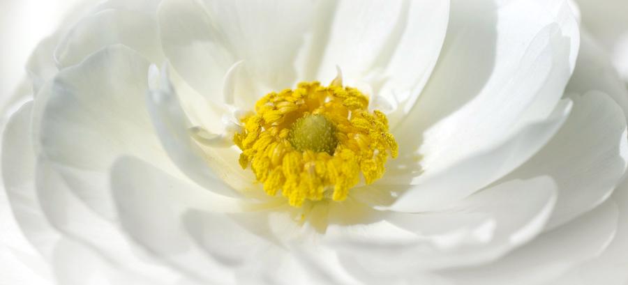 Tecolote Ranunculus Flower