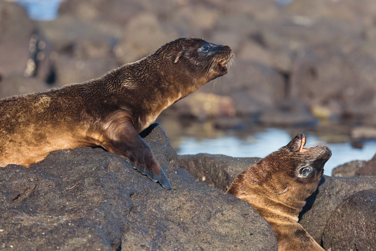 baby sea lion pups howling