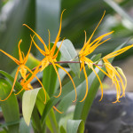 orange spider orchids