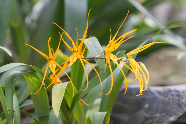 orange spider orchids