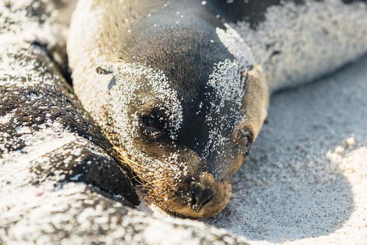 sandy sea lion pup portrait