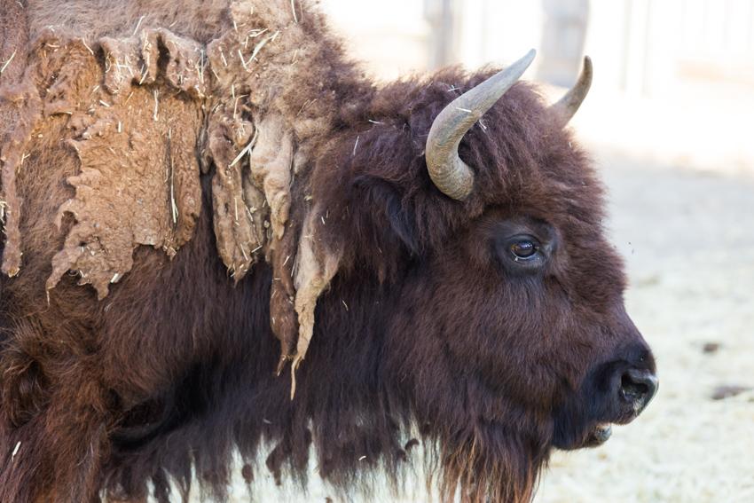 Bison_Hart_Ranch-11