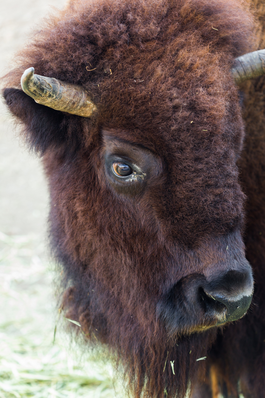 Close up bison looking right