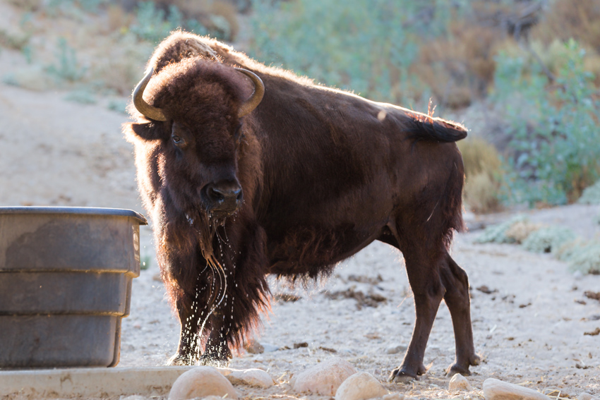 Female Bison Getting Drink of Water