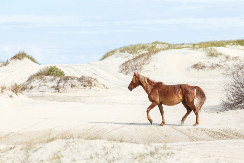 Multiple herds of wild horses roam the beaches and sand dunes of Carolla, much like this beauty.